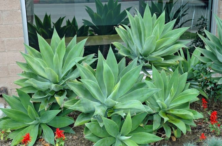 Growing And Caring For Agave Attenuata Morflora