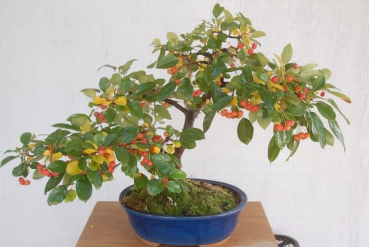 dwarf pomegranate tree bonsai