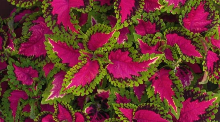 growing the coleus plant successfully  morflora, Natural flower