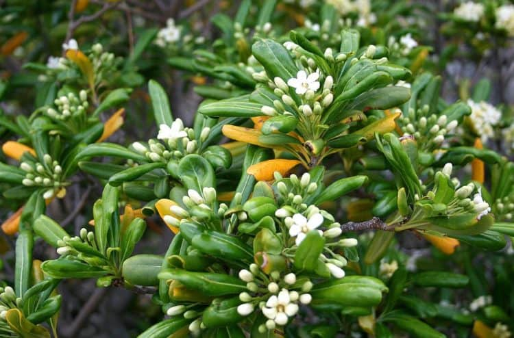 growing pittosporum