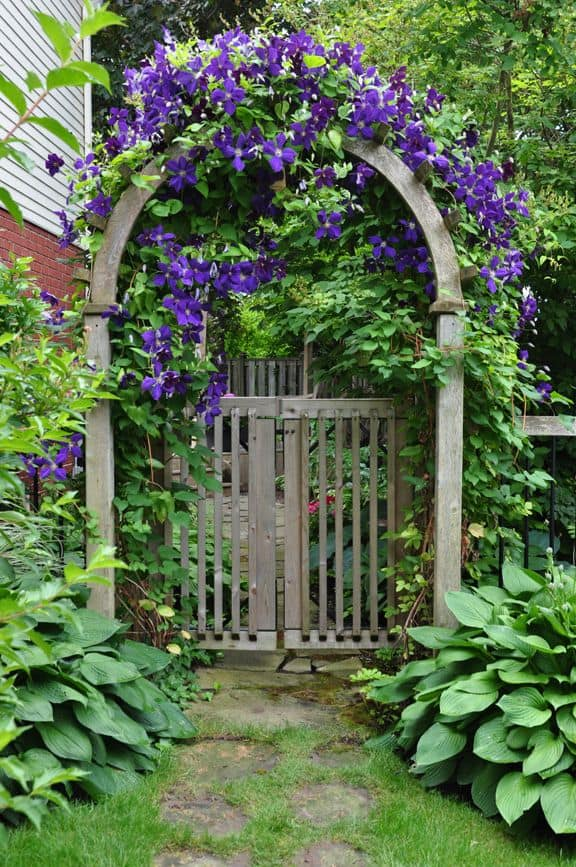 Lovely purple clematis climbs over the arch