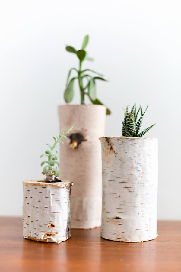 Tiny Succulents Birch Trees