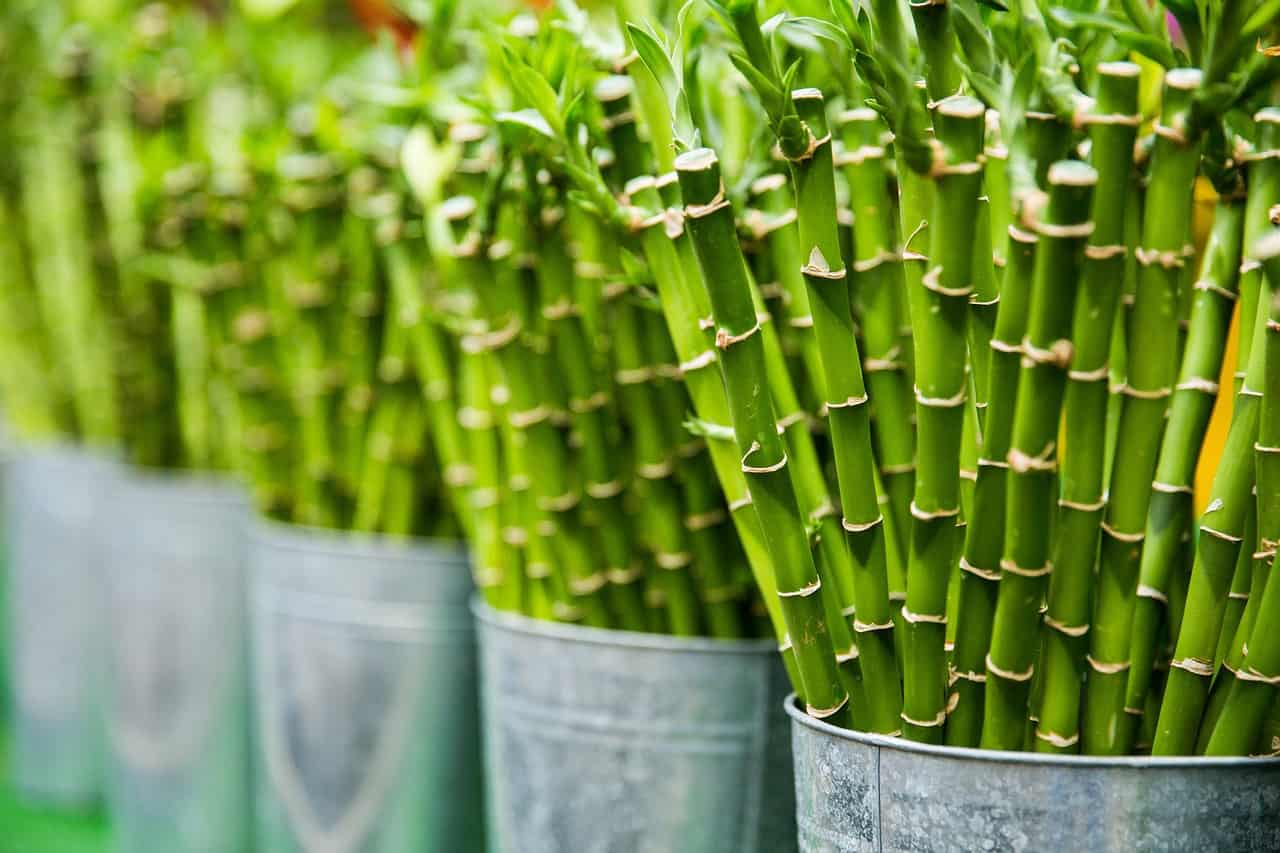 how to grow bamboos