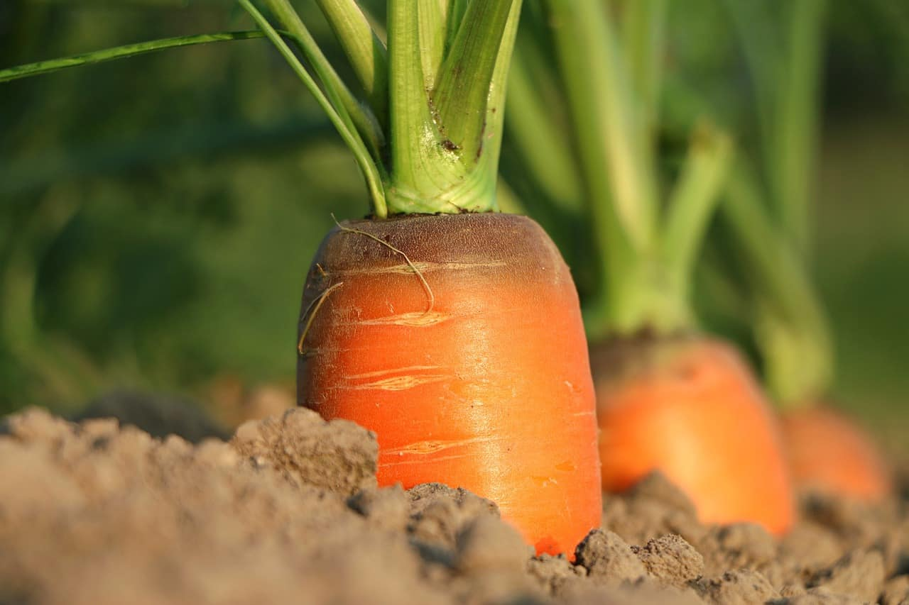 how to grow carrots easily