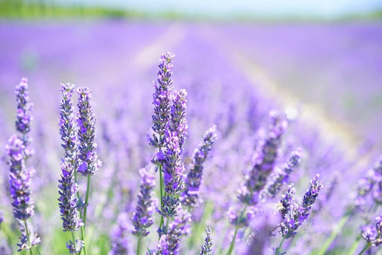 how to grow lavenders easily