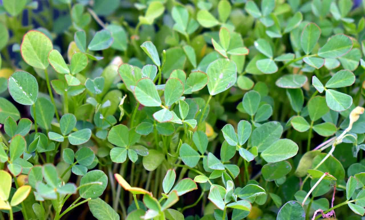 How to Grow Fenugreek at Home