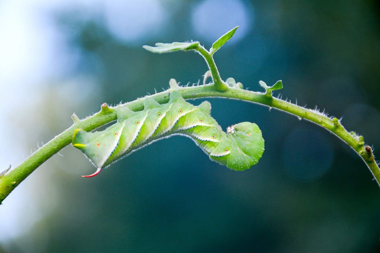 get rid of tomato worms