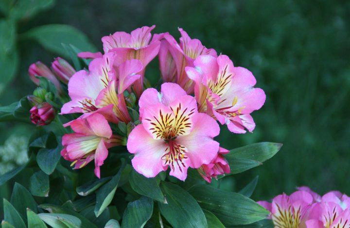 Alstroemeria Flower Meaning and Symbolism