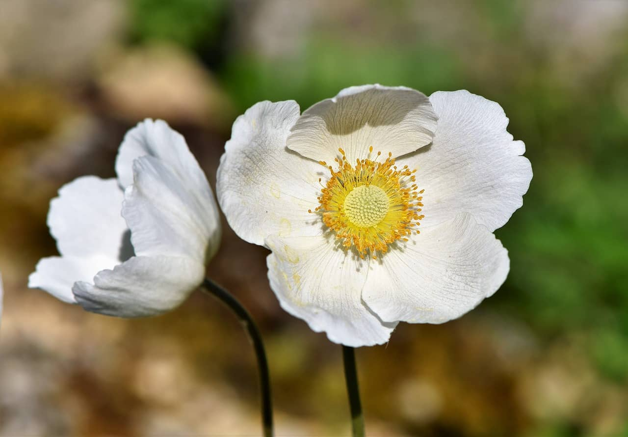 Anemone Meaning and Symbolism