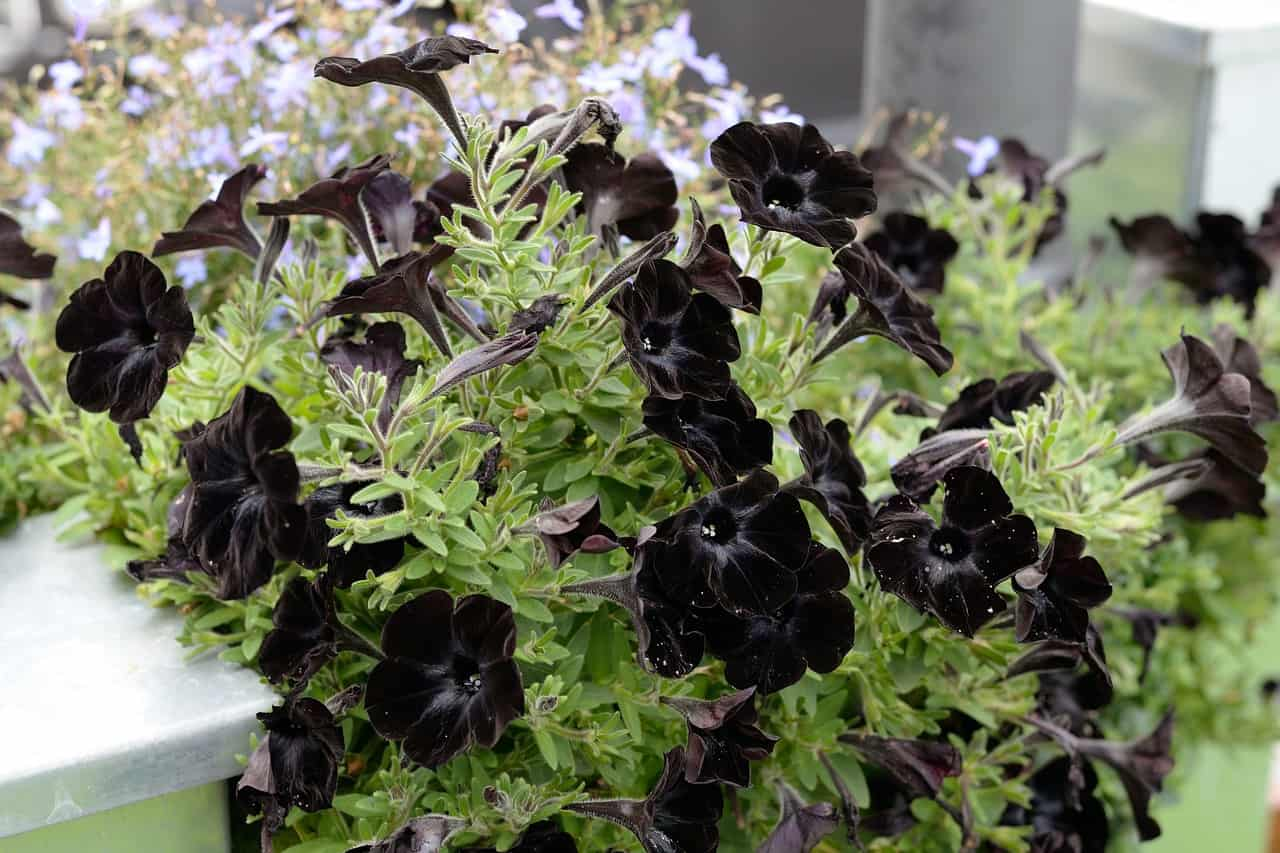 Growing Black Petunia In Your Garden Morflora