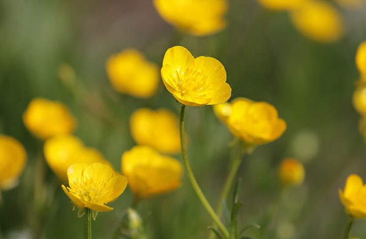 Buttercup Flower Facts