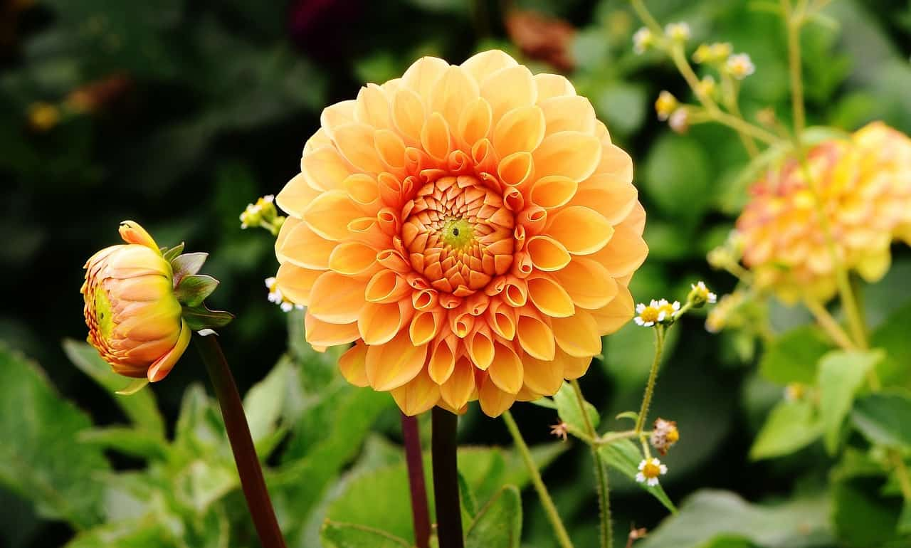 Dahlia Flower Meaning