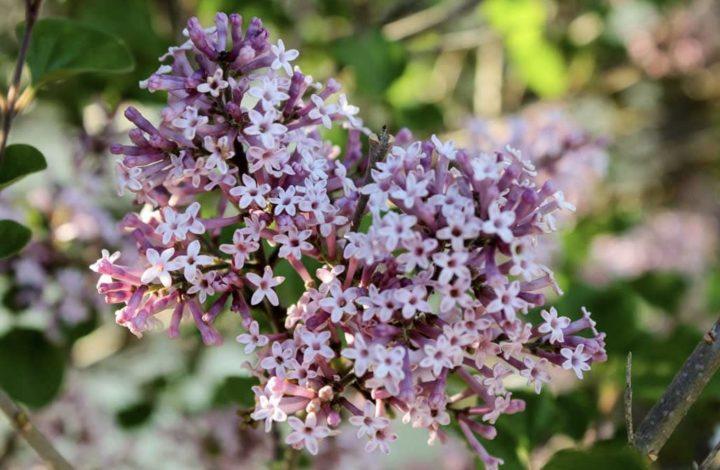 Dwarf Korean Lilac