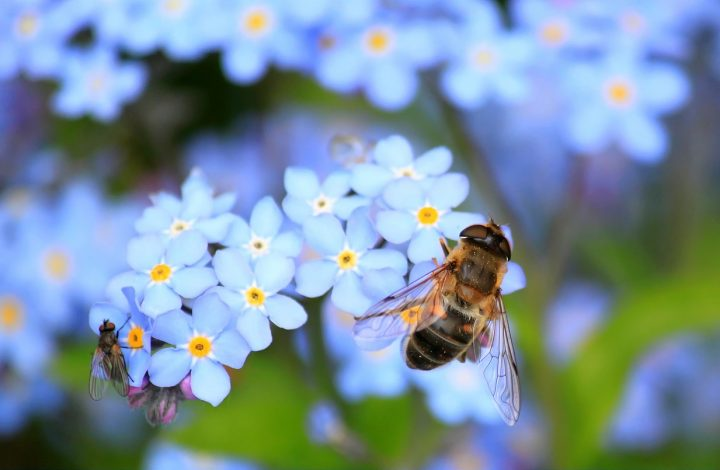 Facts About Forget-Me-Nots flower