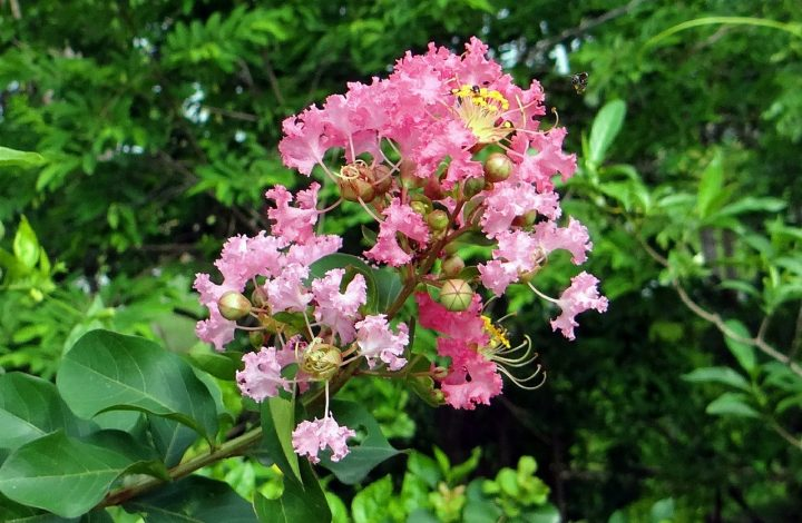 Myrtle Flower Meaning