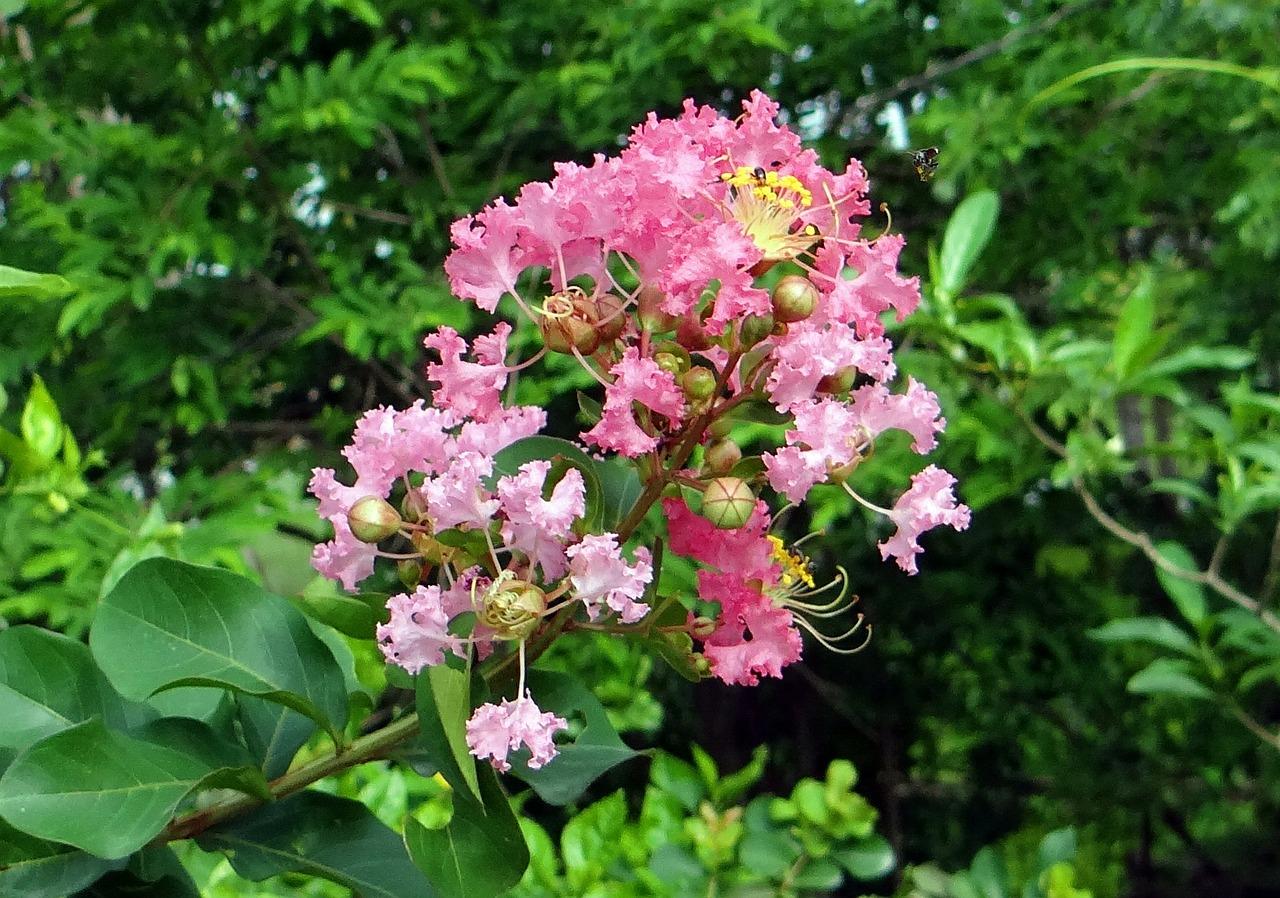 Myrtle Flower Meaning