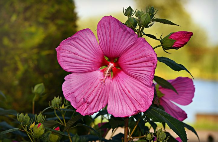 How To Plant And Care For Hibiscus Plant Morflora