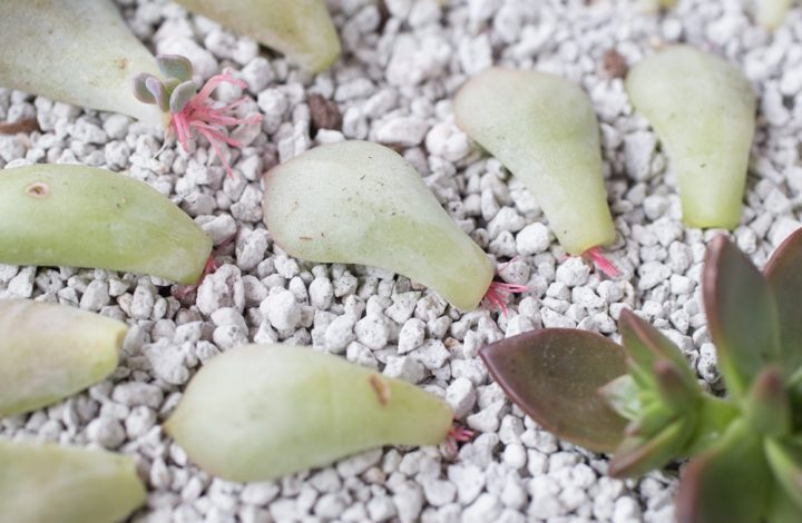 Propagate Your Succulents