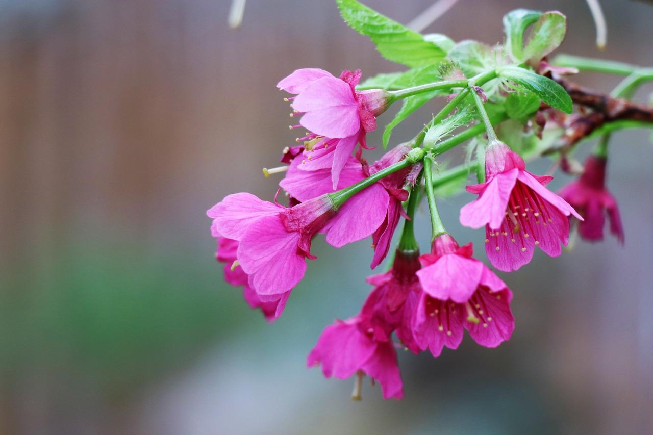 Sakura Flower Meaning