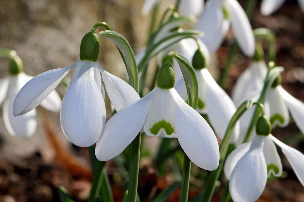 Snowdrops Guide Facts Symbolisms And Where To Find Them