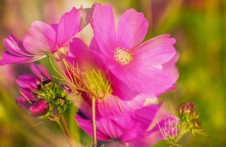 Summer Garden with Cosmos Flowers