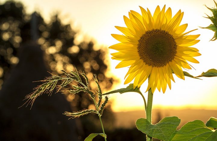 Sunflower meanings