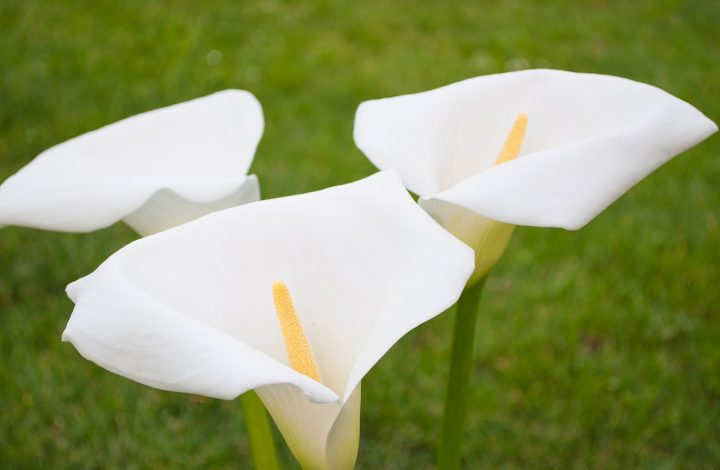 The History of Calla Lily