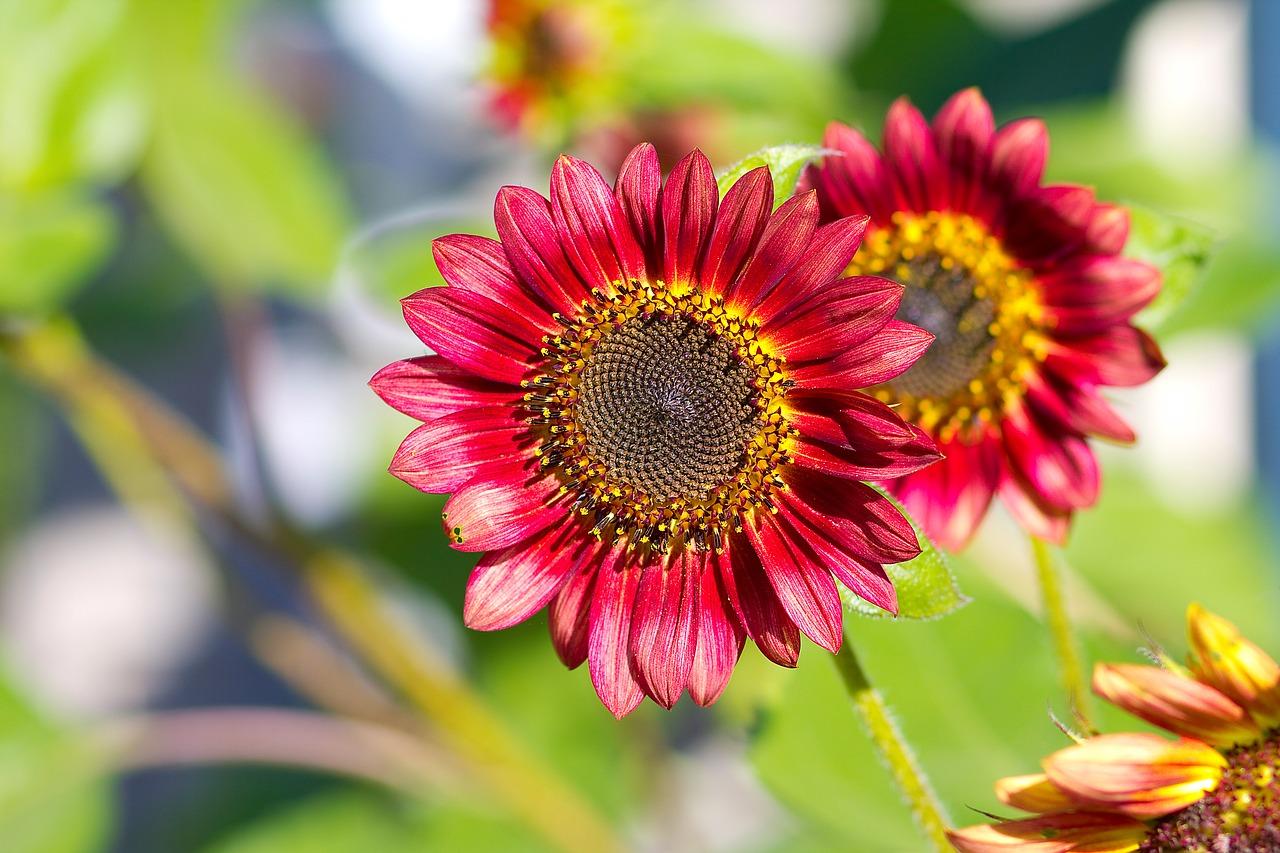 Types of Sunflowers