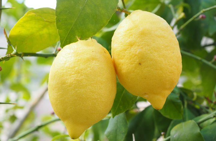 Varieties and Types of Lemons