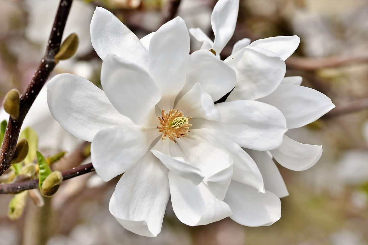 Magnolia Flower  Interesting Facts And Growing Tips