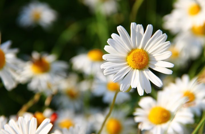 daisy white flower