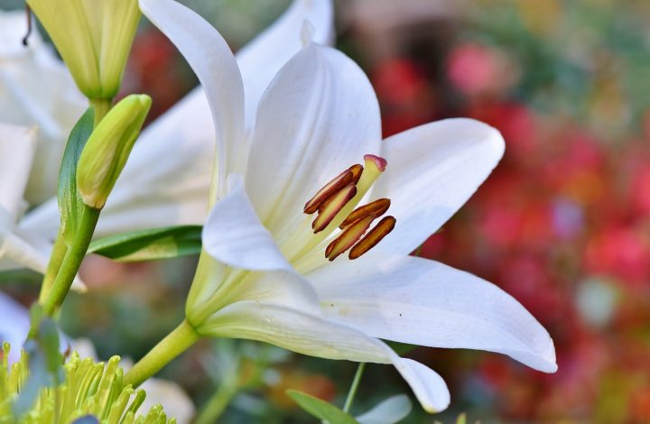 Knowing About Types Of Lilies How To Grow Them Morflora