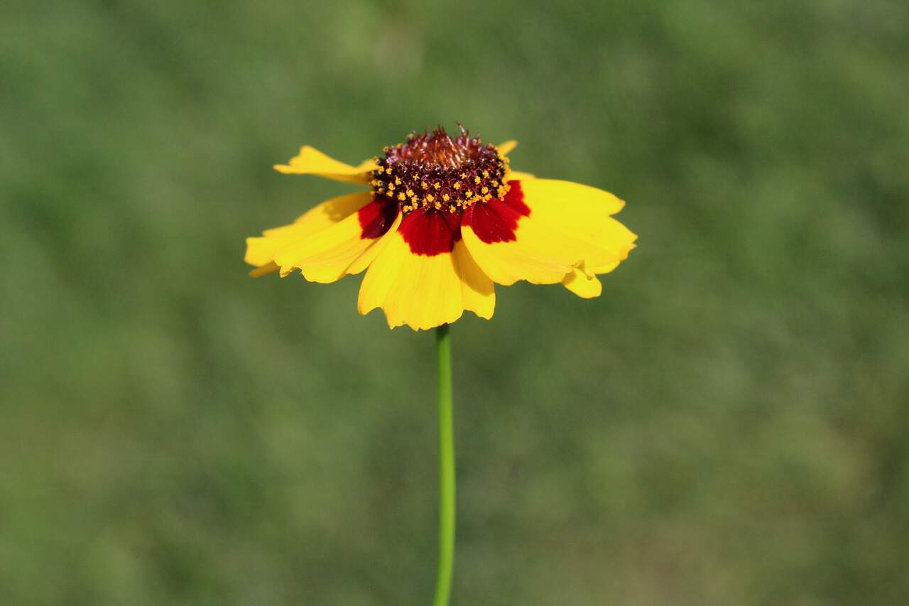 Growing Coreopsis Flower In The Garden And How To Care For It