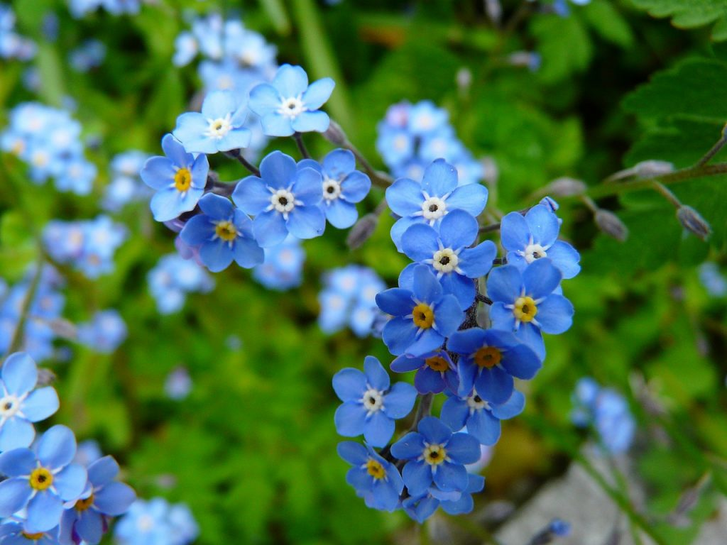 About Forget-Me-Not Flowers