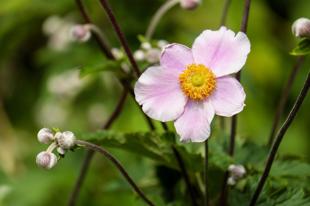 Anemone Flower - Etymological Significance