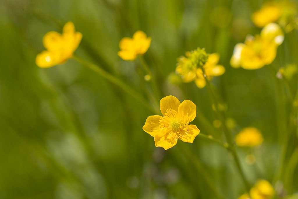Buttercup Meaning