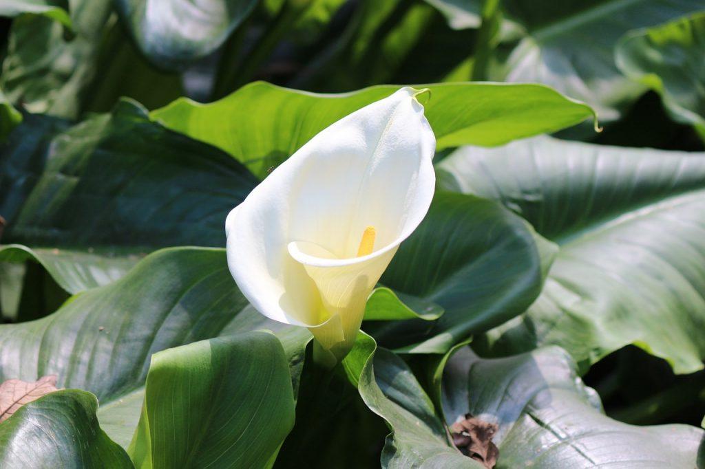 Calla Lily Symbolisms