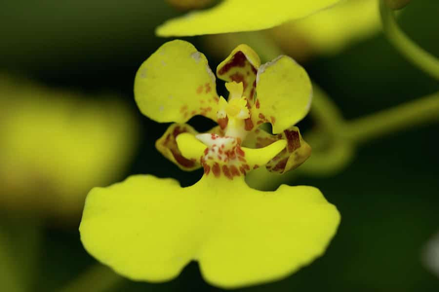 Care for Oncidium Orchids