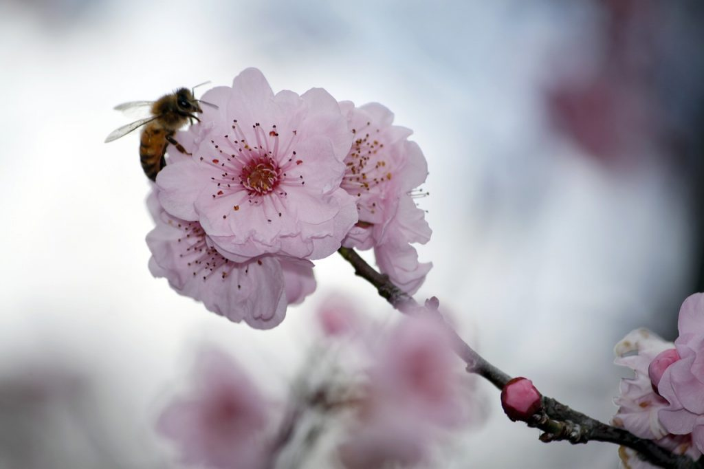 Characteristics of Cherry Blossoms