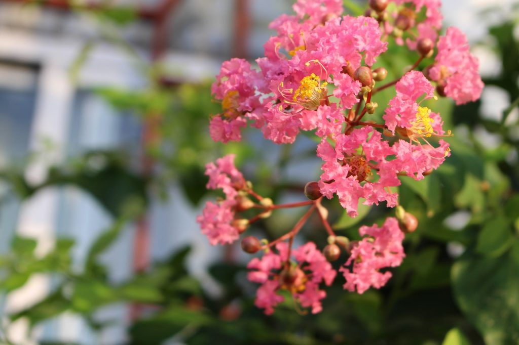 Characteristics of Myrtle Flower