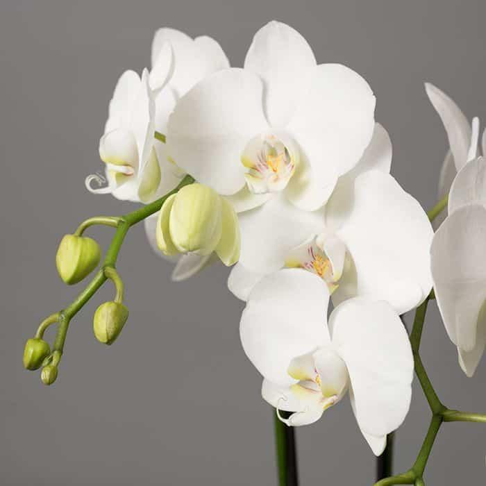 Characteristics of Phalaenopsis Orchid