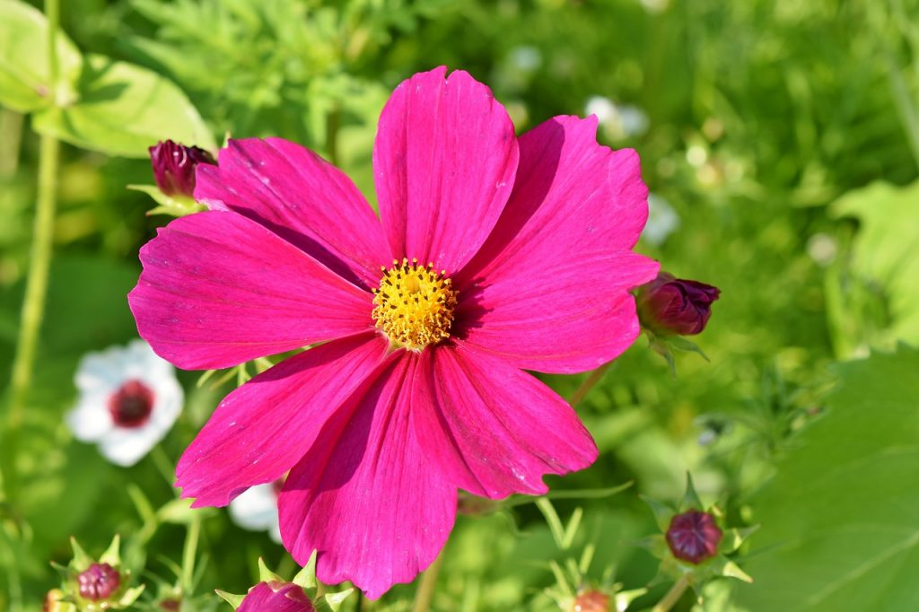 Cosmos Flowers Caring Tips