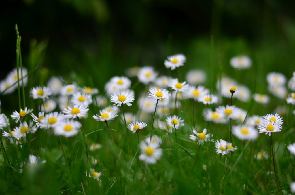 Daisy Etymological Meaning