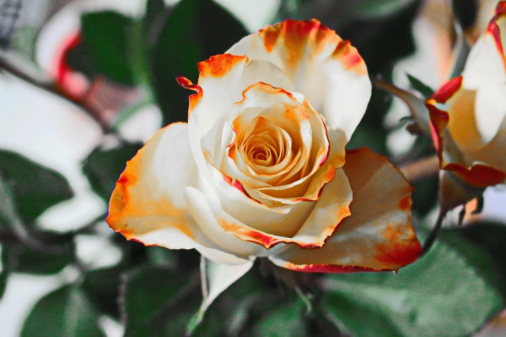 Facts about Roses