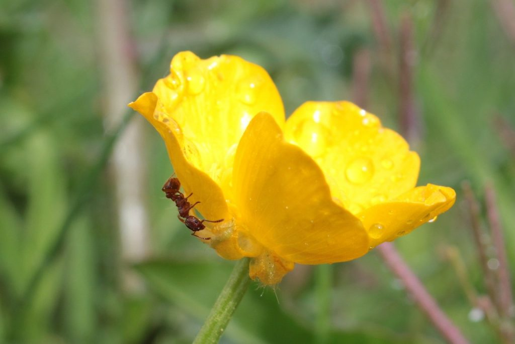 Grow Buttercup Flowers