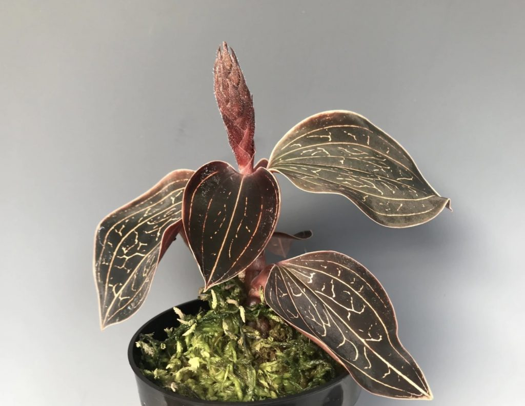 Grow Jewel Orchid