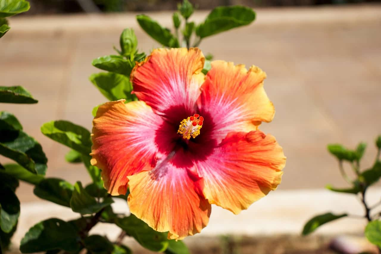 20 Hawaiian Flowers to Create Tropical Garden - MORFLORA