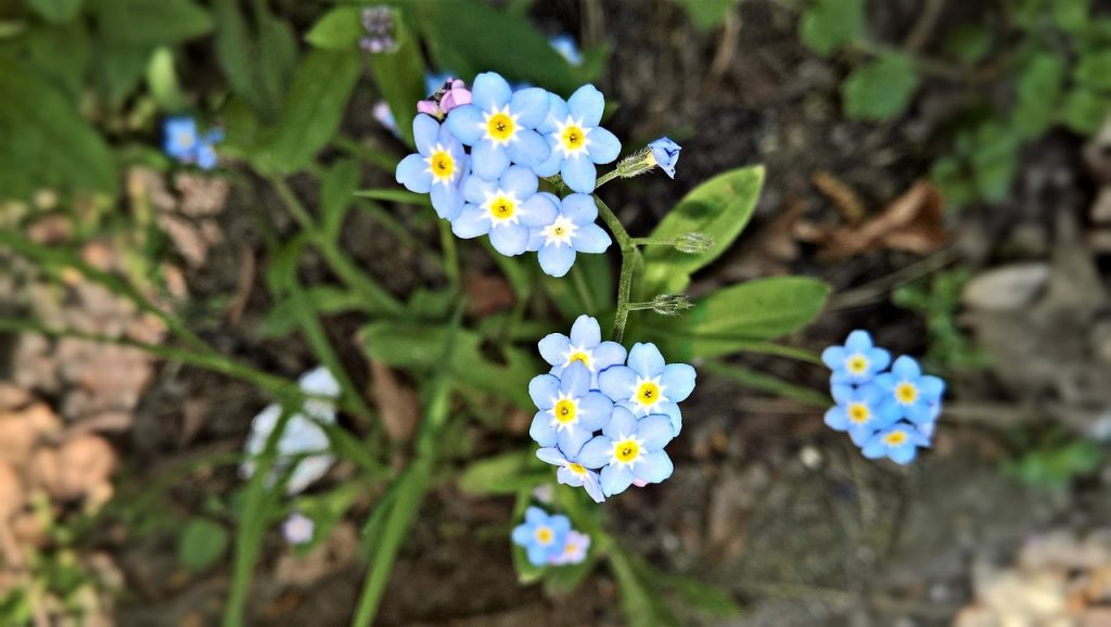 How To Care for Forget-Me-Nots