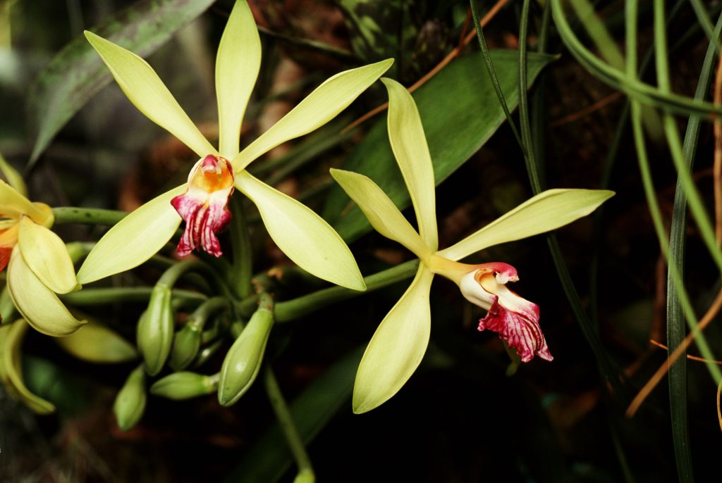 How to Plant Vanilla Orchid