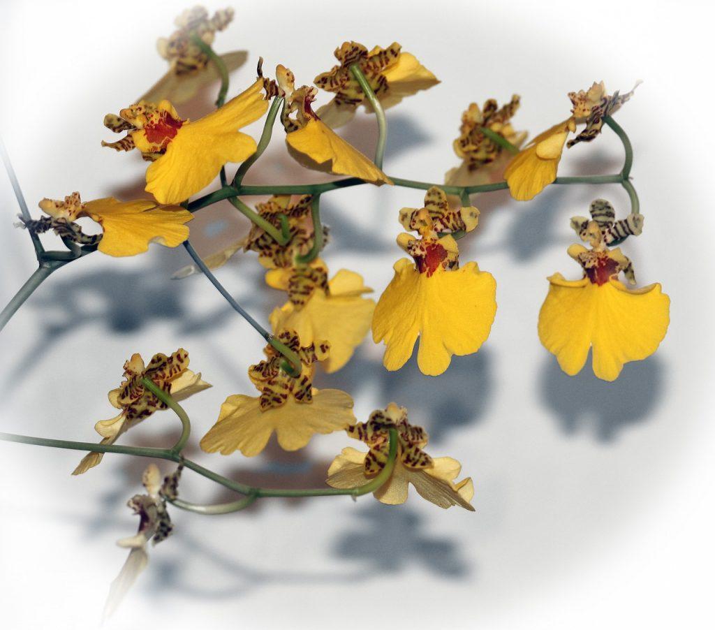 Oncidium Orchid Characteristics